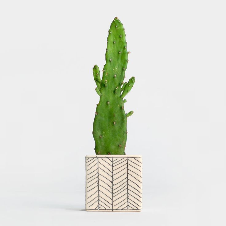 Ly Pear Cactus In Herringbone Planter Easy Maintenance Plant Mini Hand Crafted Local Nyc Delivery And Nationwide Shipping
