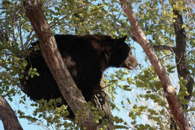 An adult male black bear crouches in a tree on Ranney