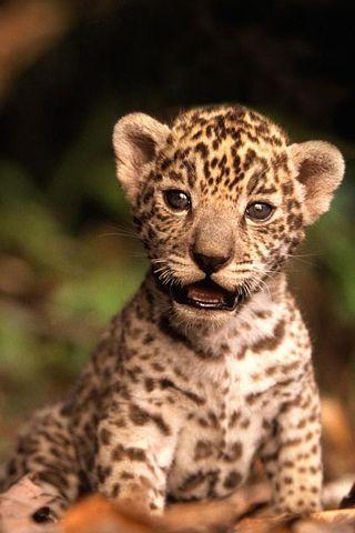 Baby cougar wild animals b b jaguar b b s animaux et animaux - Bebe du jaguar ...