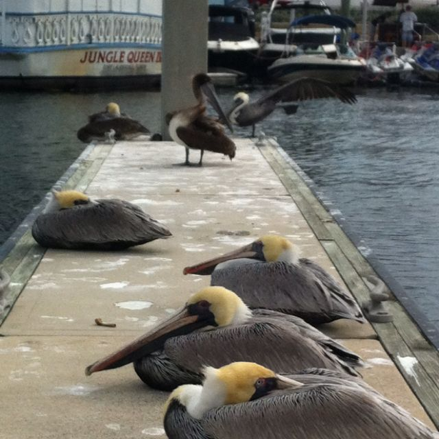 PELICANS! hello my brothers