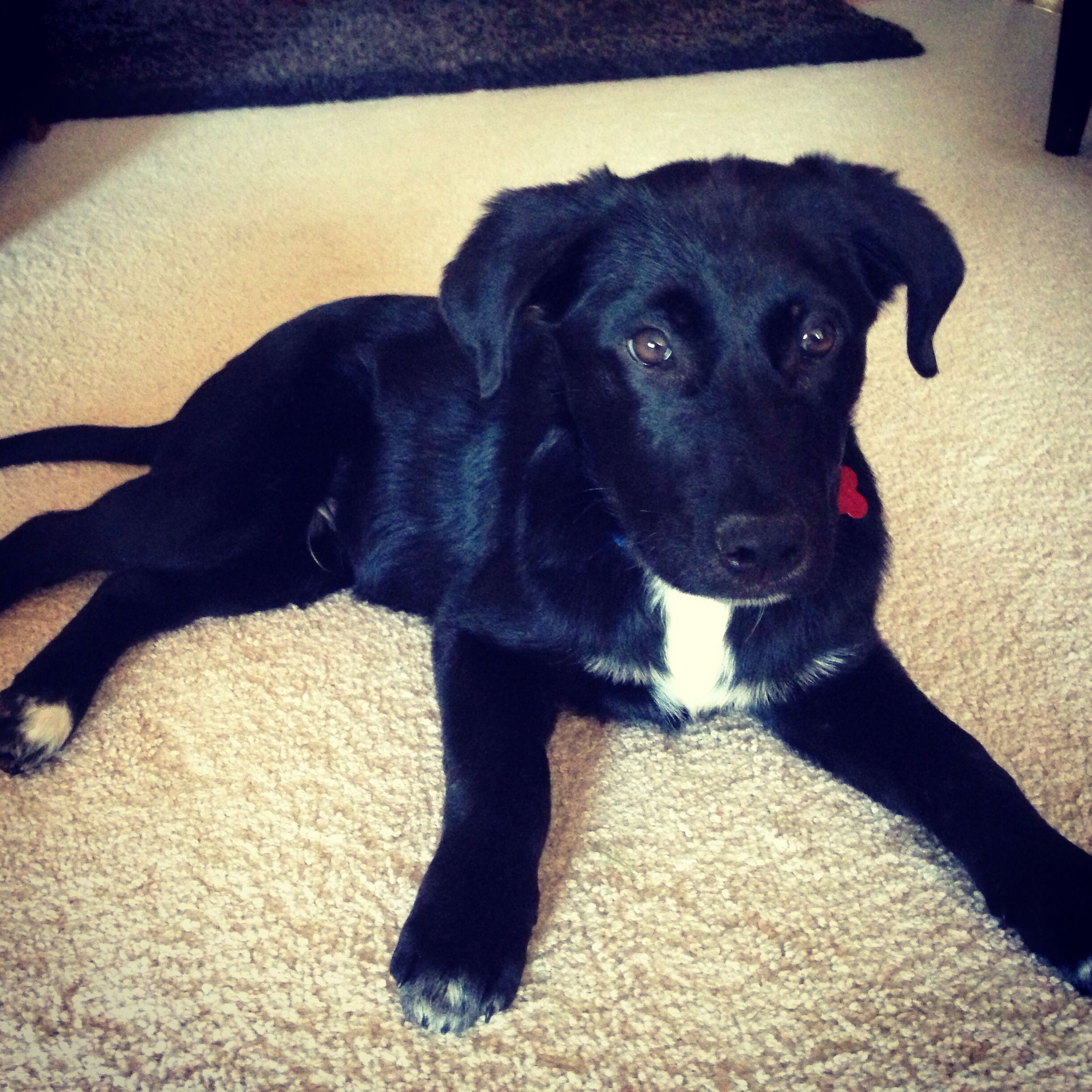 General Black Lab And Border Collie Mix At 4 Month Old Rescued