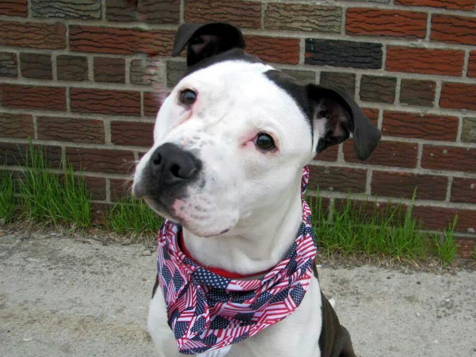 Needd loving home Pitbull mix, Dog adoption, Pitbulls