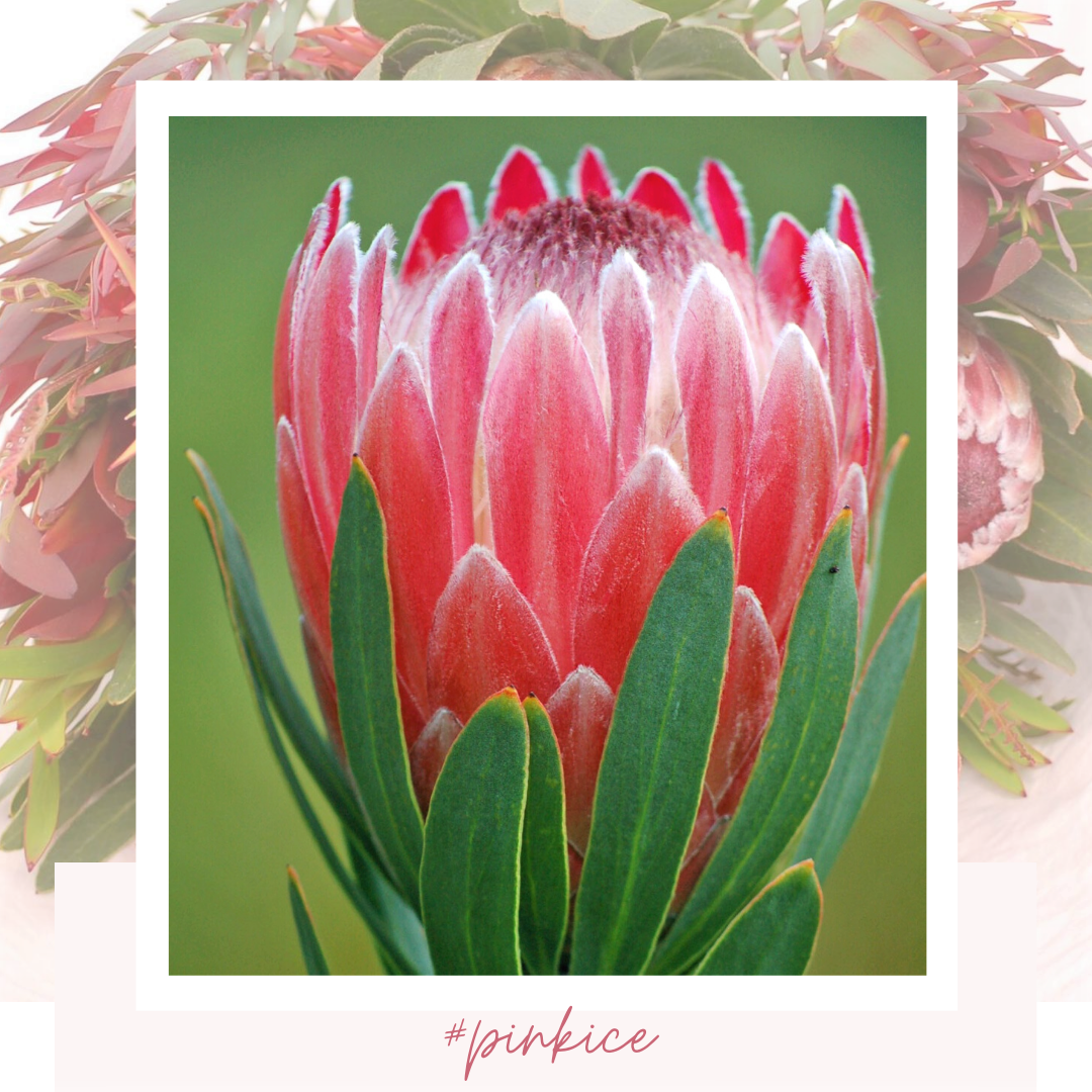 Protea Pink Ice In 2020 Pink Summer Flowers Floral