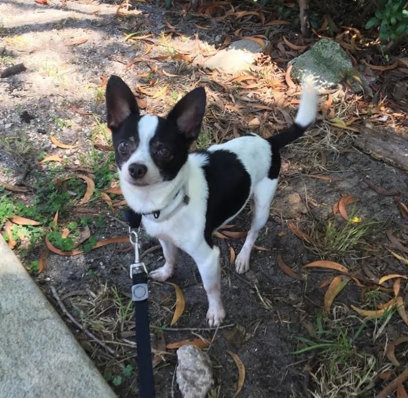 Adopt Taco On Chihuahua Pets Terrier
