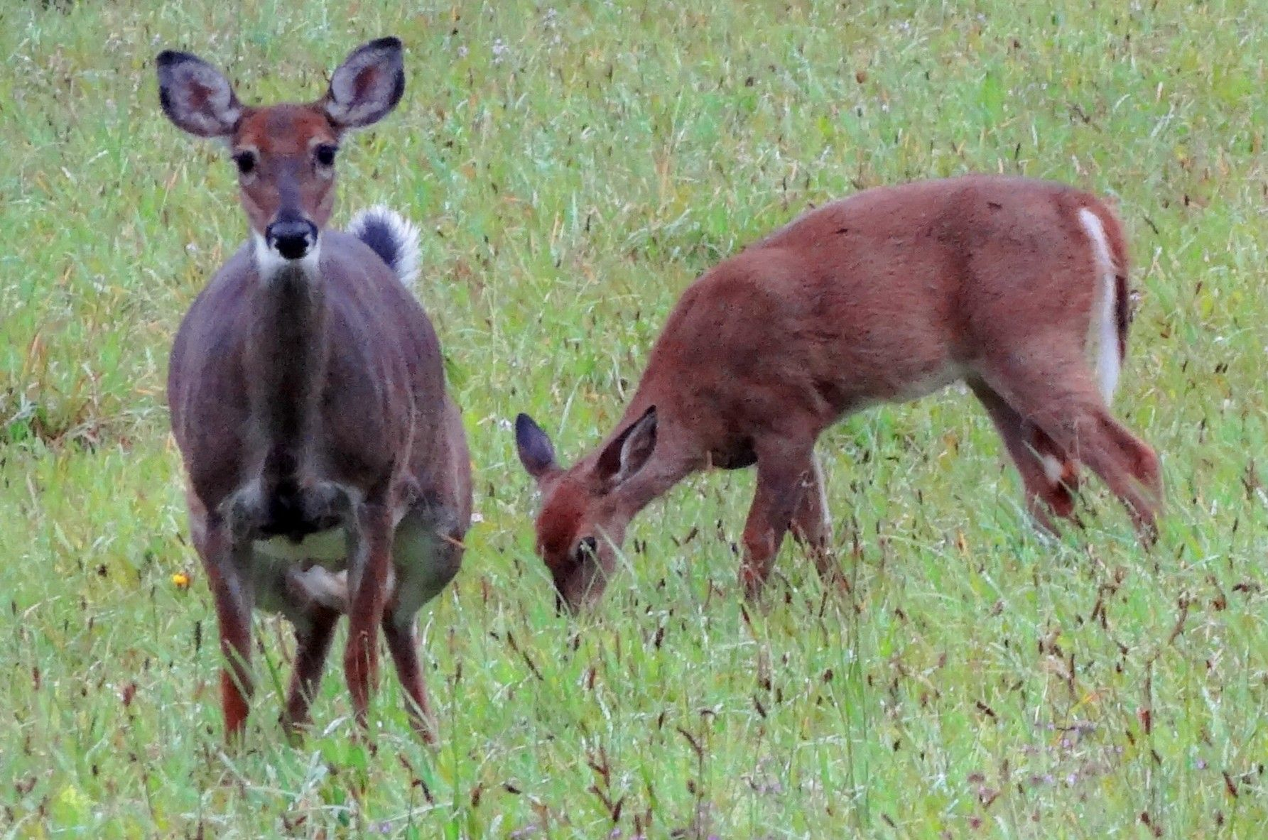Mama & Baby White Tailed Deer, Sullivan Co ny | Whitetail ... - photo#9