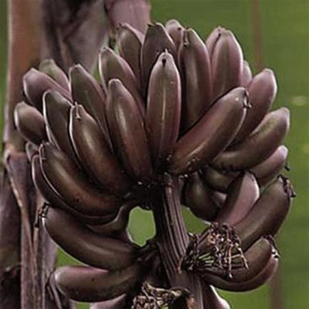 Dwarf Red Banana Tree Con Imagenes Ventas