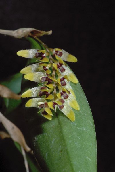Trichosalpinx berlineri