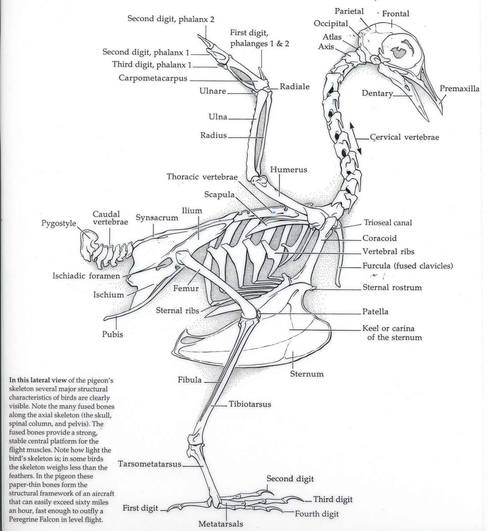eagle avian skeleton