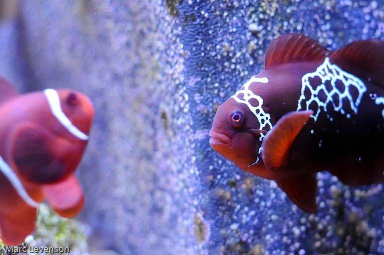 The Lightning Project Clown Fish Saltwater Aquarium Fish Ocean Creatures