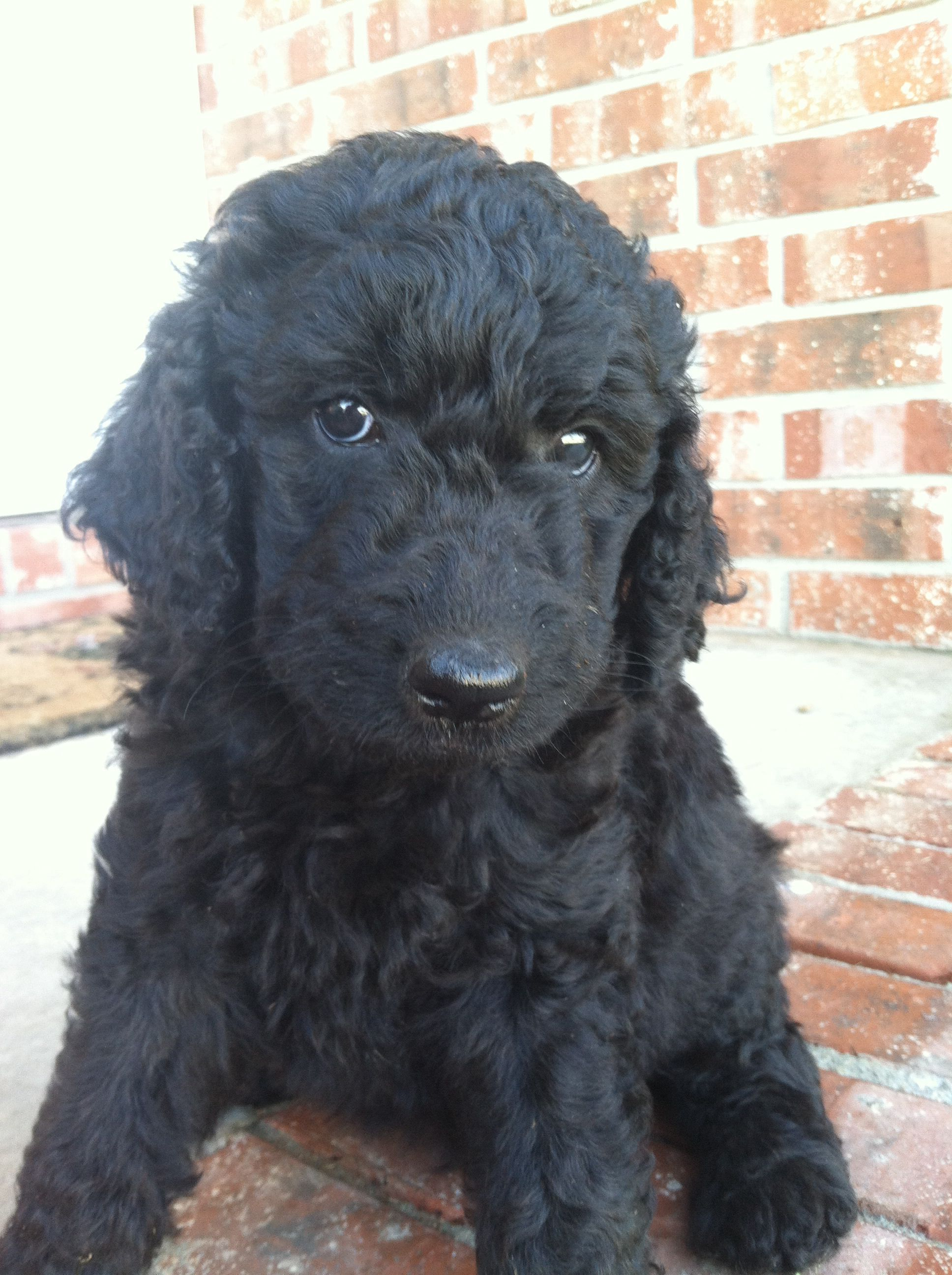 Standard Poodle Puppies For Sale Leave Comment For More