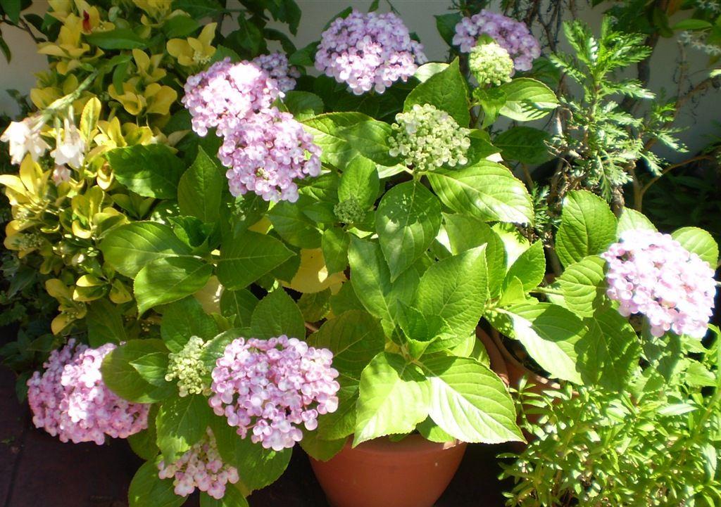Cuidados de la hortensia cortar s lo las flores y dejar 3 - Cuando podar hortensias ...