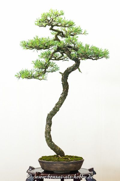 Waldkiefer als bonsai literat bonsai pinterest for Literati bonsai gallery