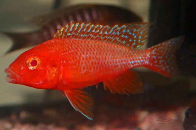 Pin On Awesome Cichlids I Want