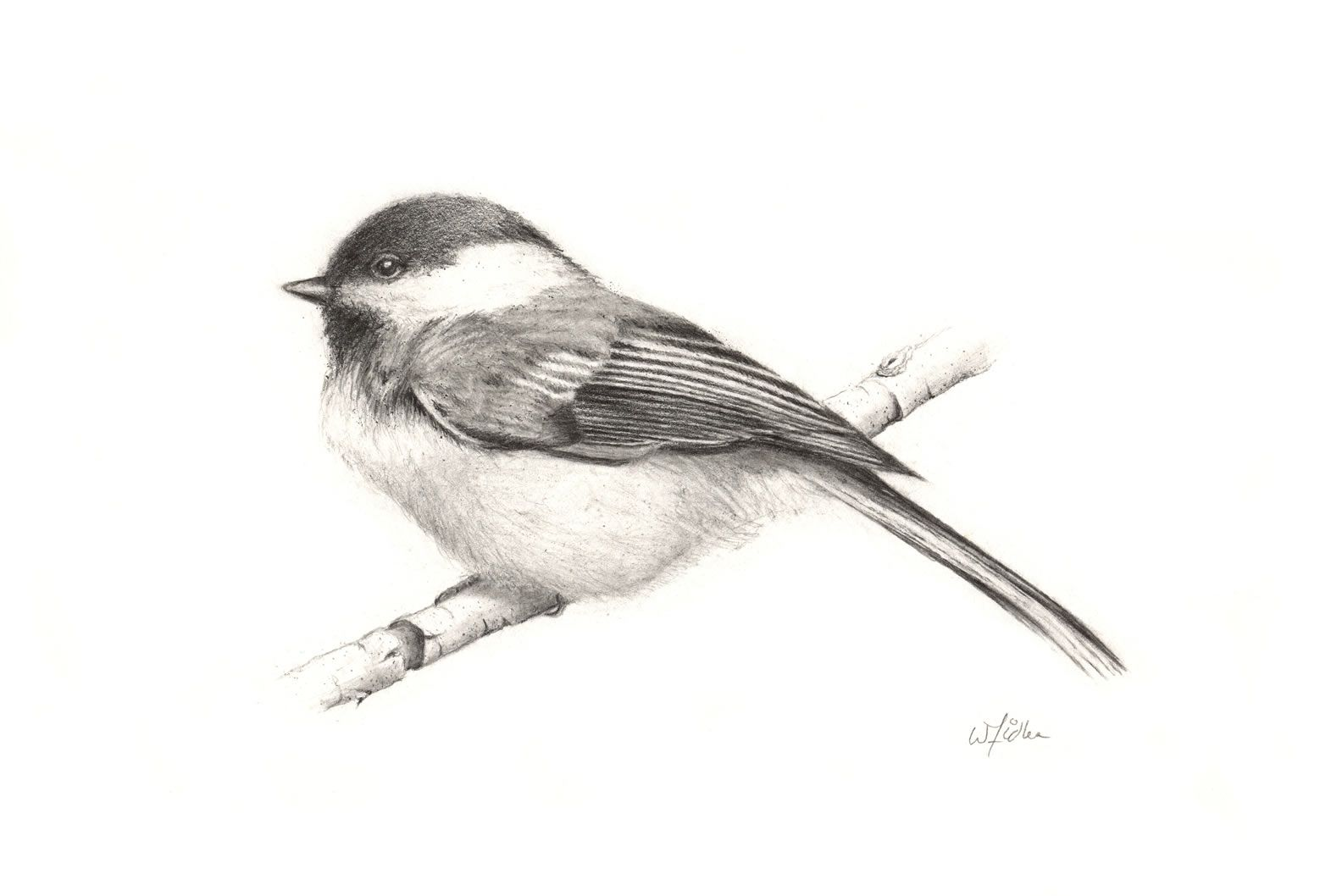chickadees photos   The Artwork of William Fidler - Pencil ... - photo#22