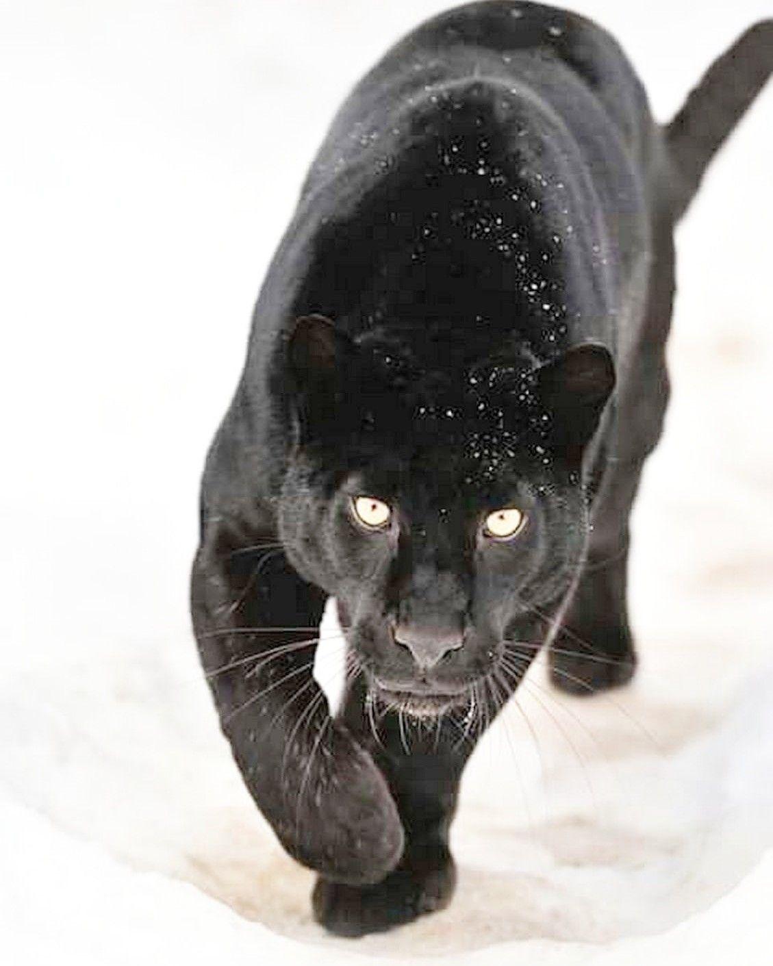 Pin von Barbara rathmanner auf wild cats