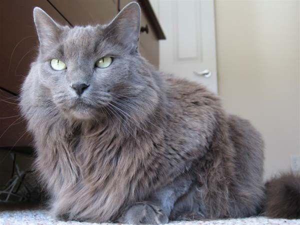 nebelung cat | Nebelung Cat | Cat Breed