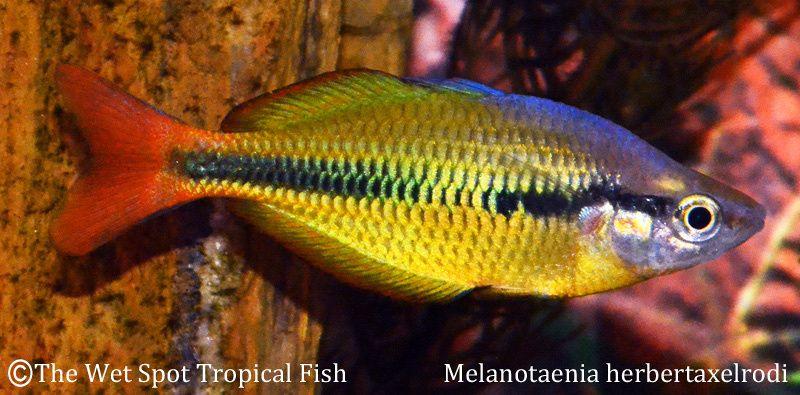 Yellow rainbow melanotaenia herbertaxelrodi gotta have for Yellow rainbow fish