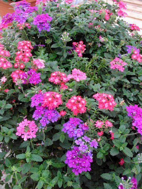Najbujniejsze Kwiaty Na Balkon Werbena Little Garden Urban Garden Flowers