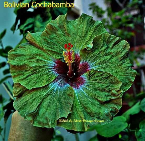 Bolivian Coxhabamba Hibiscus Plant Hibiscus Flowers Hibiscus