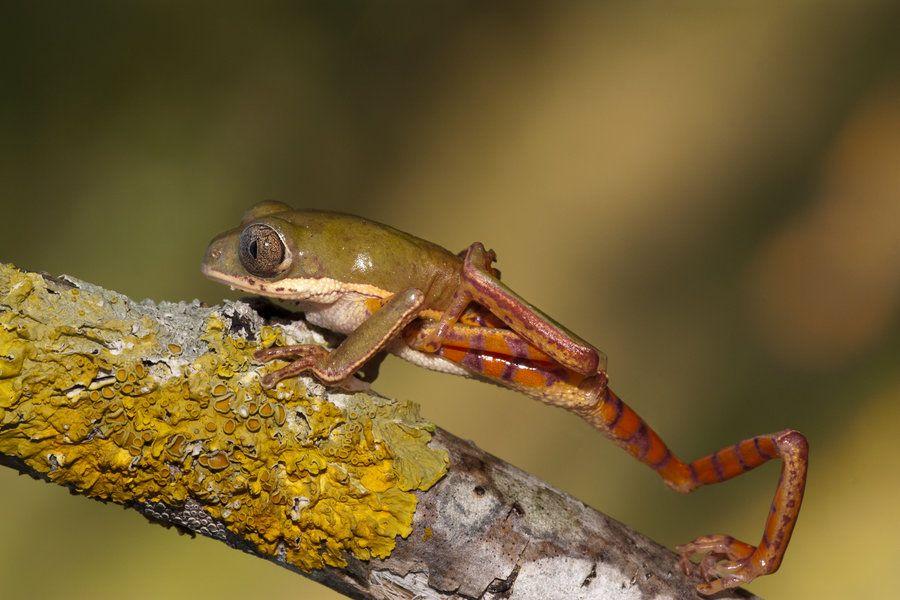 Tiger leg waxy monkey frog by AngiWallace on DeviantArt