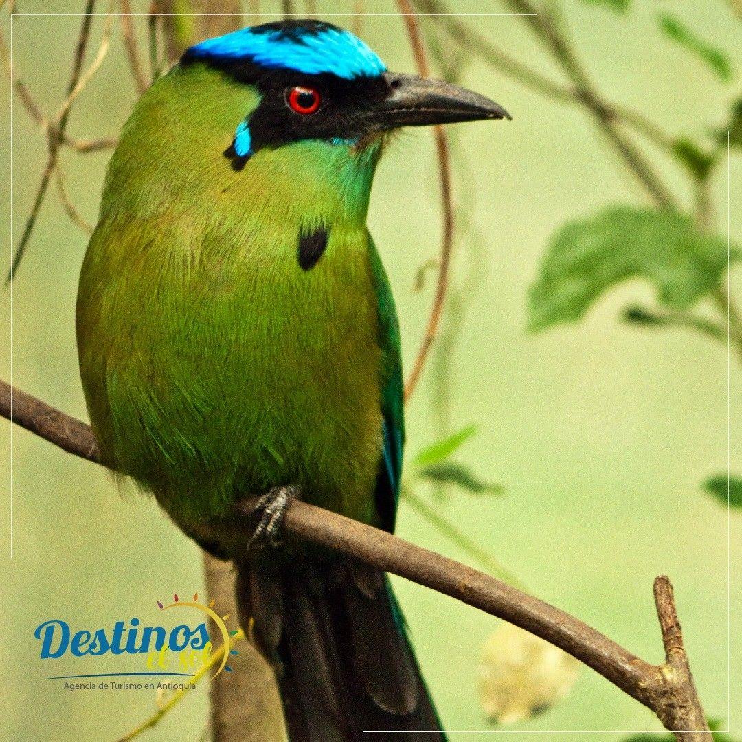 Agencia de Turismo  Barranquero Descripción:  Ave grande su tamaño aproximado es de 48 centímetros y pesa un poco más de un kilogramo. Tiene una banda azul que rodea la coronilla y se vuelve morada en el cuello. La cola es larga y tiene dos plumas en forma de péndulo al final. Su dieta se basa en lombrices e insectos, aunque también pueden comer frutas, reptiles y batracios. • • • • • # montaña #muntanya #pirineos #bosque #senderismo #pyrenees #pirineus #paisaje #campo #montagne #naturaleza #nub