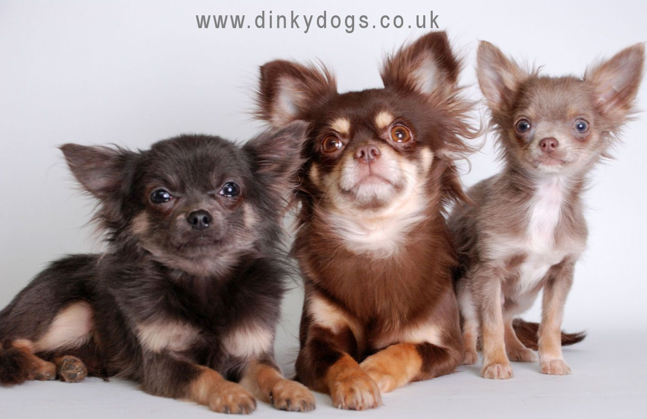 Ingucheeni Chihuahua Dogs Breeder Of Longcoat And Smooth In