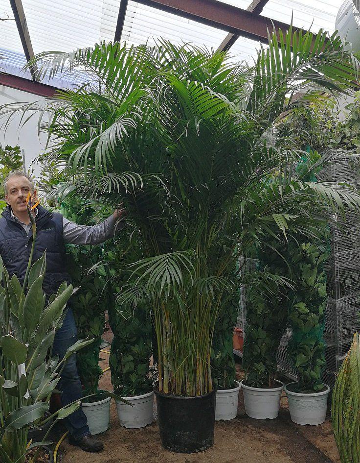 Areca palm crysalidocarpus lutescens palm in 2020 large