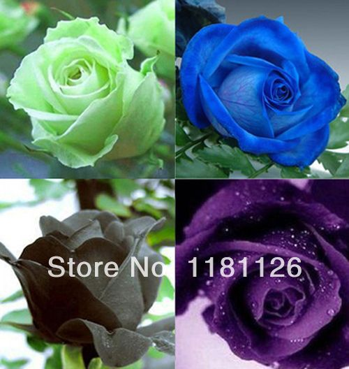 Compare Prices On Light Blue Roses Online Shopping Buy Low Price Light Blue Roses At Factory Price Aliexpress Com Light Blue Roses Flower Seeds Rose Seeds