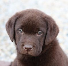 Rustic Ridge Labrador Retriever Breeder In Indiana English Bred Puppies For Quality Type And Temperament Specializ Puppies Labrador Retriever Cute Puppies