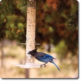 Steller's Jay – Learn All About the #Bird o' the Day – Backyard #WildBird Directory –