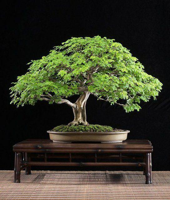 Brazilian Rain Tree Bonsai Tree Types Bonsai Tree Japanese Bonsai