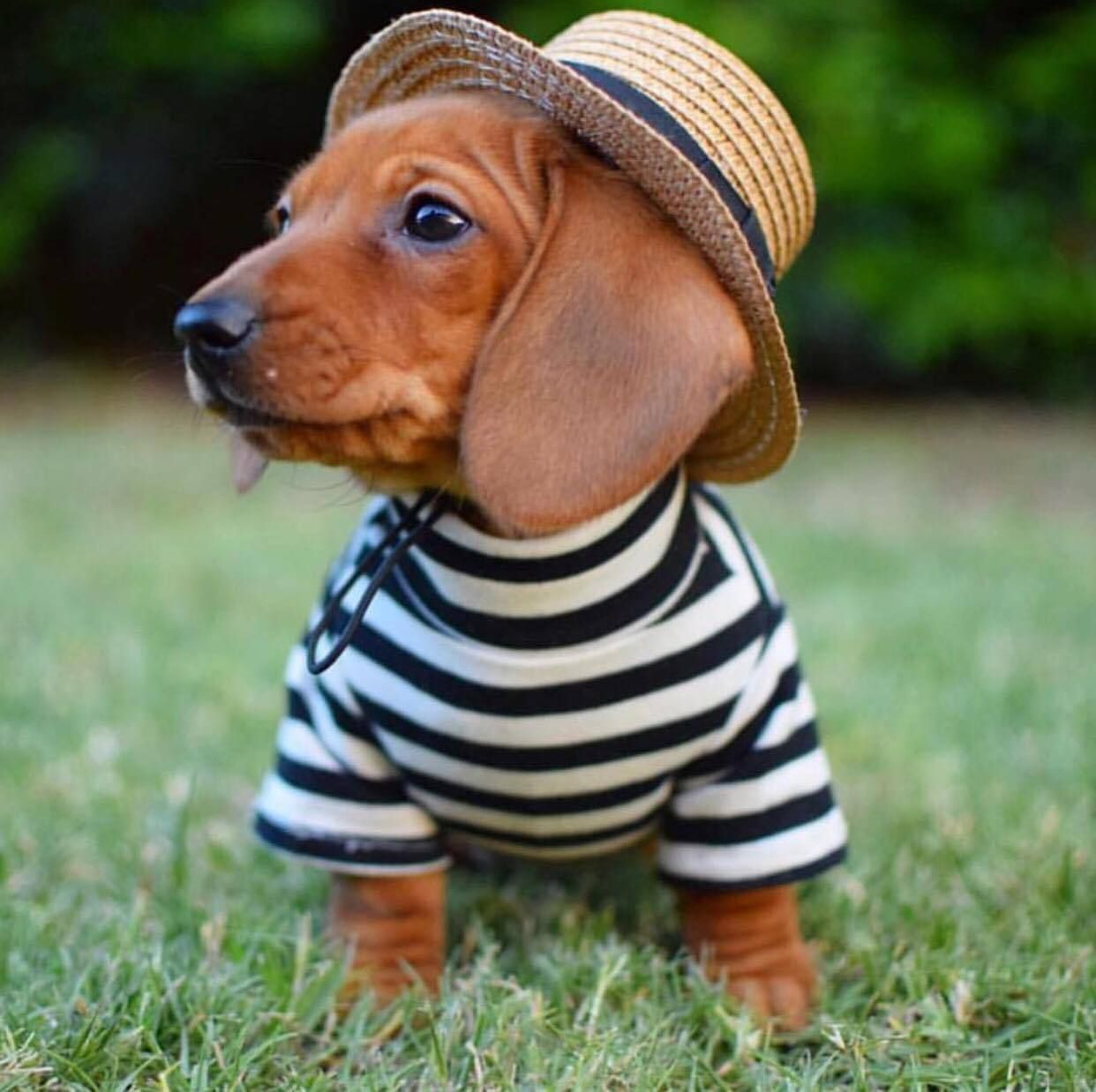 A Lil French Dachshund In Our Pablo Co Striped Dog Tee