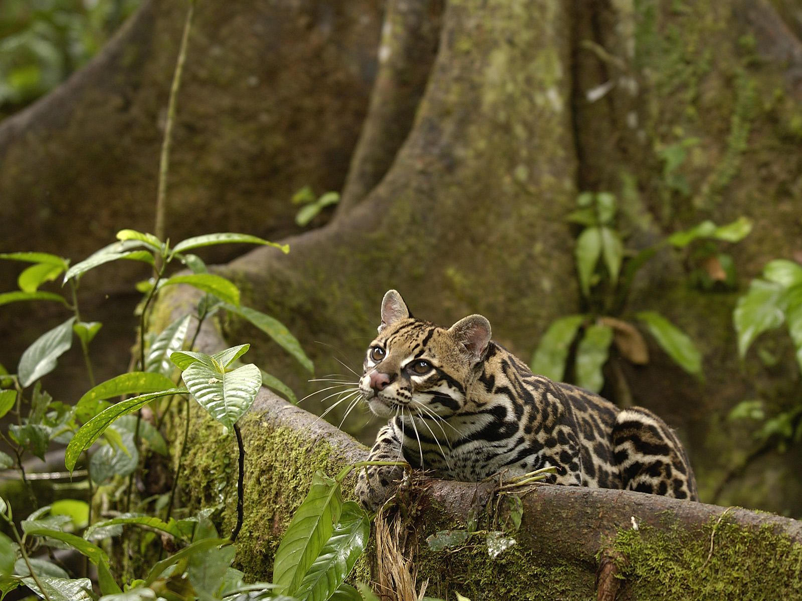 Ocelot Lives In The Ecuador Rainforest
