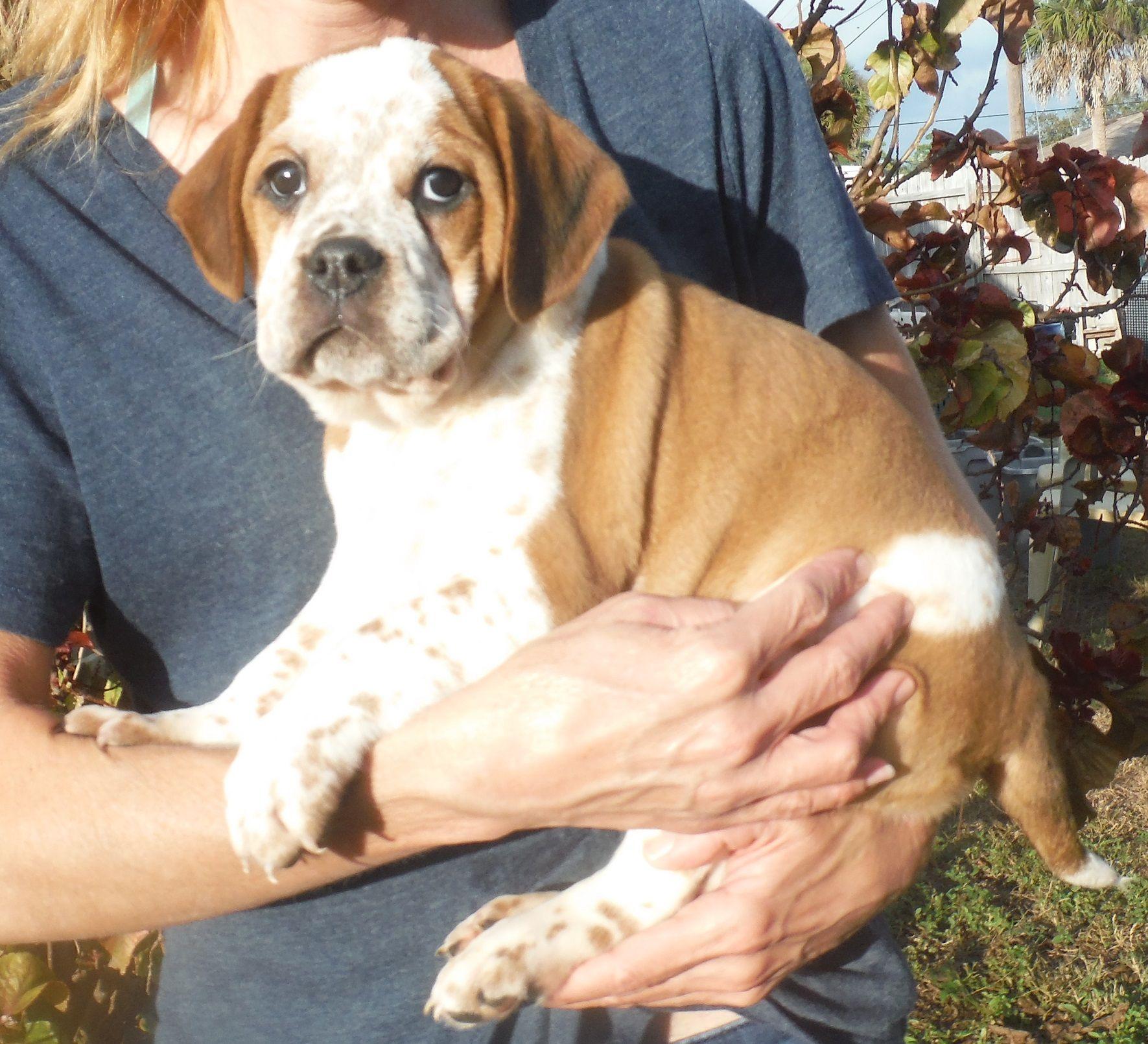 Beabull Dog For Adoption In Commerce Ga Adn 471107 On