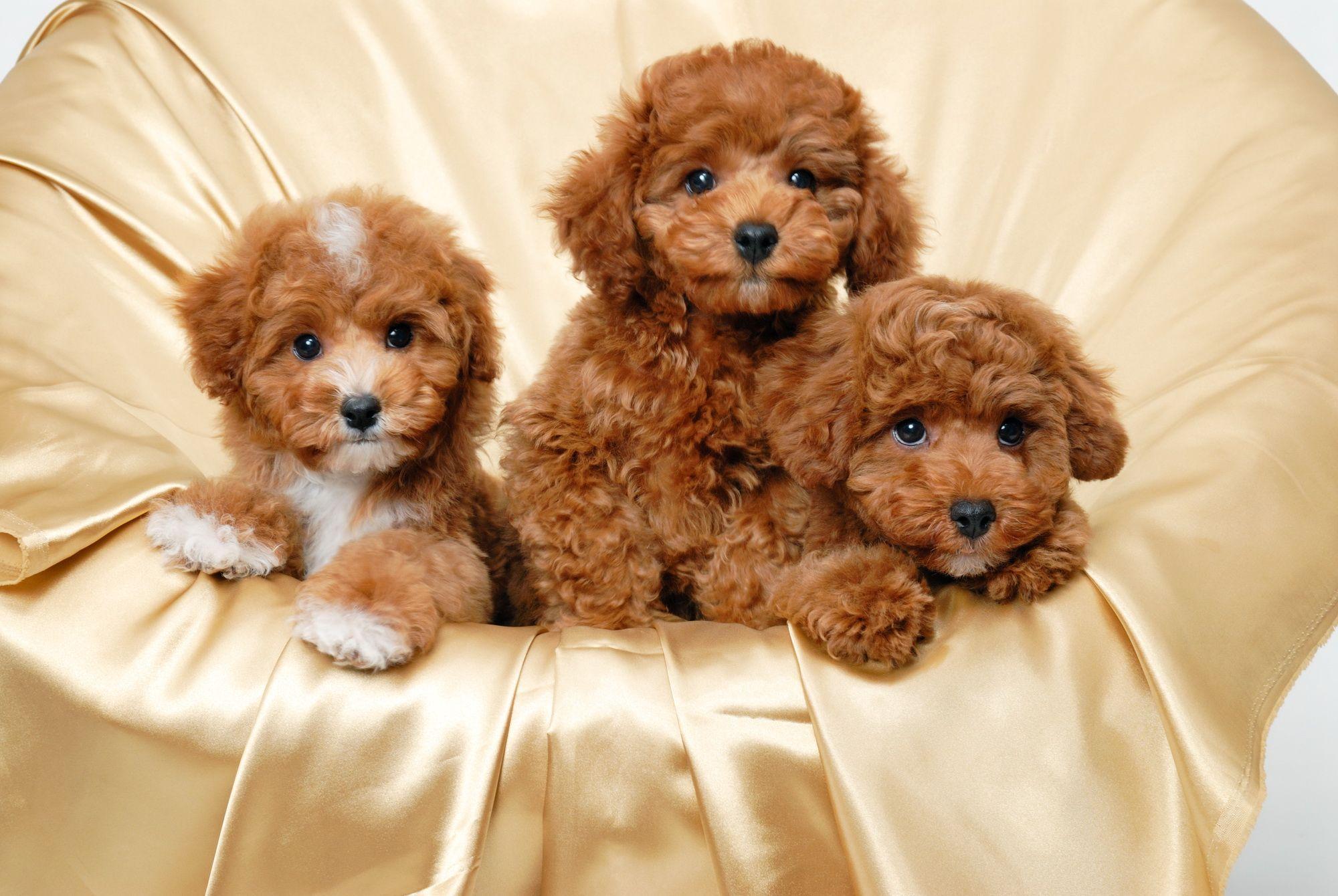 Hd Cute Puppies Wallpaper Download Free 104897