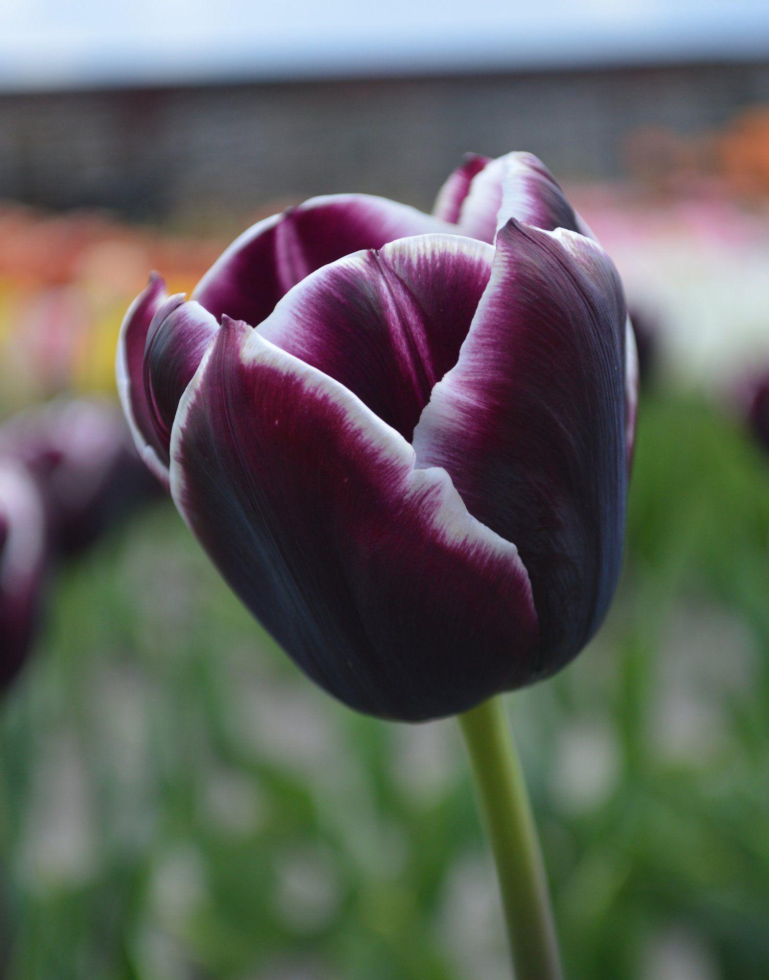 Tulip Jackpot Tulip bulbs, Bulb flowers, Planting bulbs