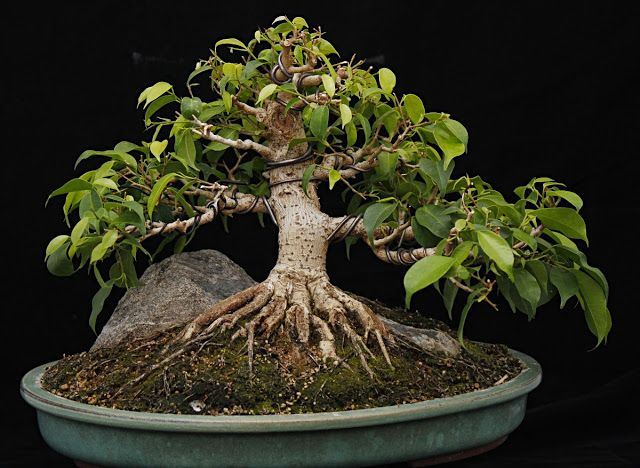 Ficus b.