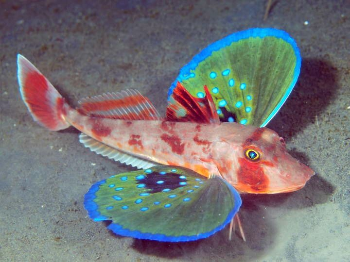 The Butterfly of the Sea: Red Gurnard : The Featured Creature.   AMAZING
