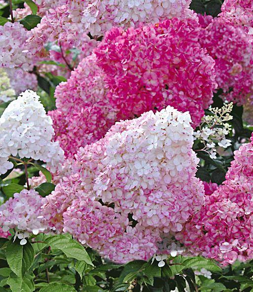 Freiland Hortensie Vanille Fraise Im 3 Liter Container Baldur Garten Pflanzen Freiland Hortensie Bepflanzung