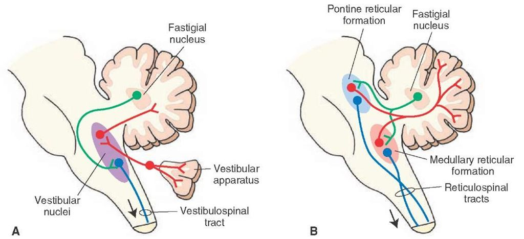 Image result for cerebellum and vestibular nuclei