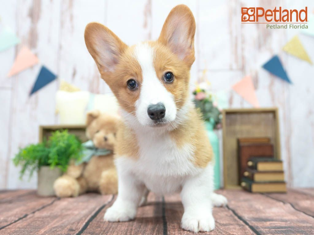 Petland Florida Has Pembroke Welsh Corgi Puppies For Sale Check Out All Our Available Puppies Pembrokewelshco In 2020 Puppy Friends Corgi Puppies For Sale Puppies