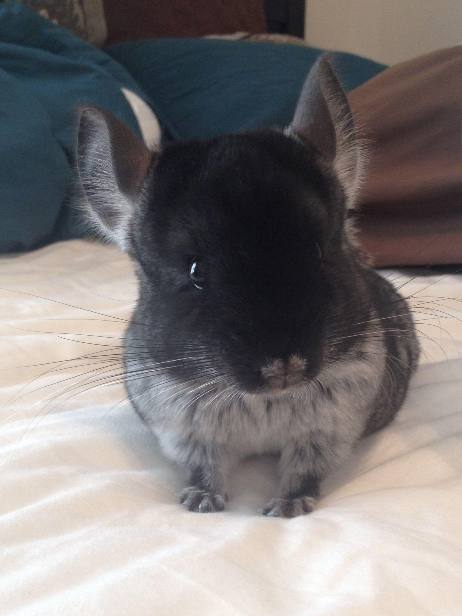 Cute Black Velvet Chinchilla Chinchilla Cute Cute Animals Pets