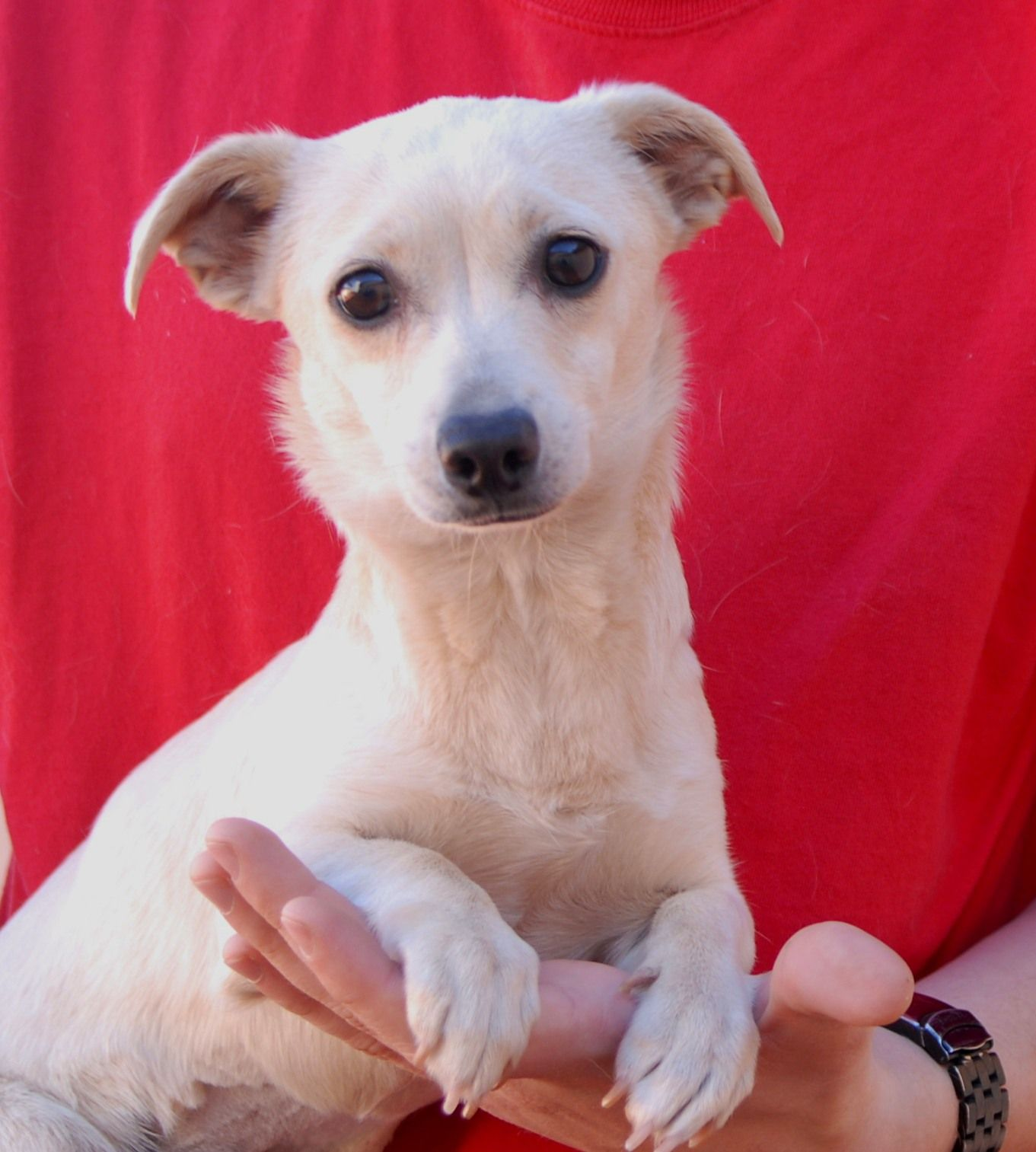 Kayla Is A Baby Girl Very Eager For Love And Companionship She Is An Adorable Blend Of Small Breeds Likely Includin Dog Adoption Pet Adoption Animal Shelter