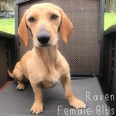New York, NY Dachshund. Meet Raven a Dog for Adoption