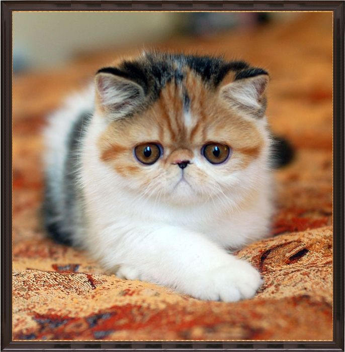 Exotic Shorthair Cats For Sale In Wisconsin | Exotic short ...