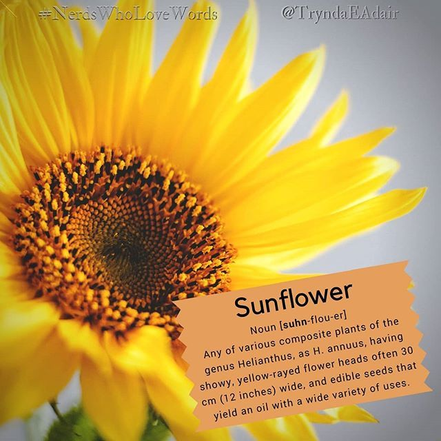 Sunflower Nerdswholovewords Wordoftheday Photo By Oliagozha On Unsplash Noun Suhn Flou Er Definition An Edible Seeds Word Of The Day Words Matter