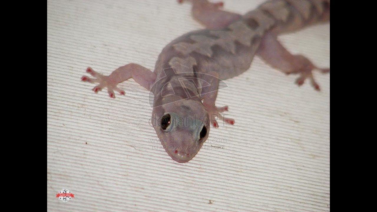 كيف تطرد الوزغ ابو بريص البرص من منزلك دون لمسه ولن يدخل منزلك تاني ابدا Youtube Lizard Animals