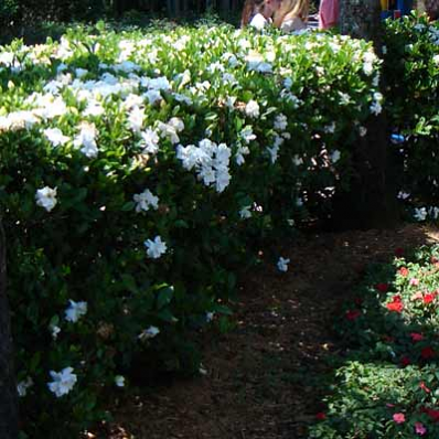 Frost Proof Gardenia Shrub Planting Flowers Garden Shrubs Plants