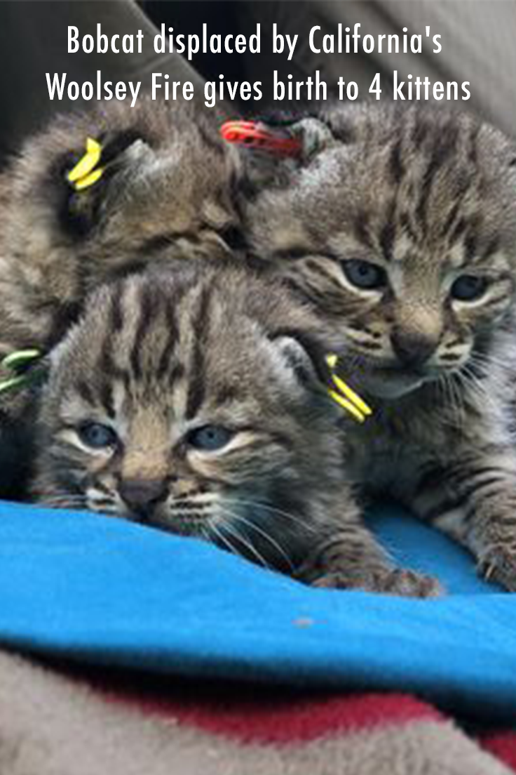 Bobcat Displaced By California S Woolsey Fire Gives Birth To 4 Kittens