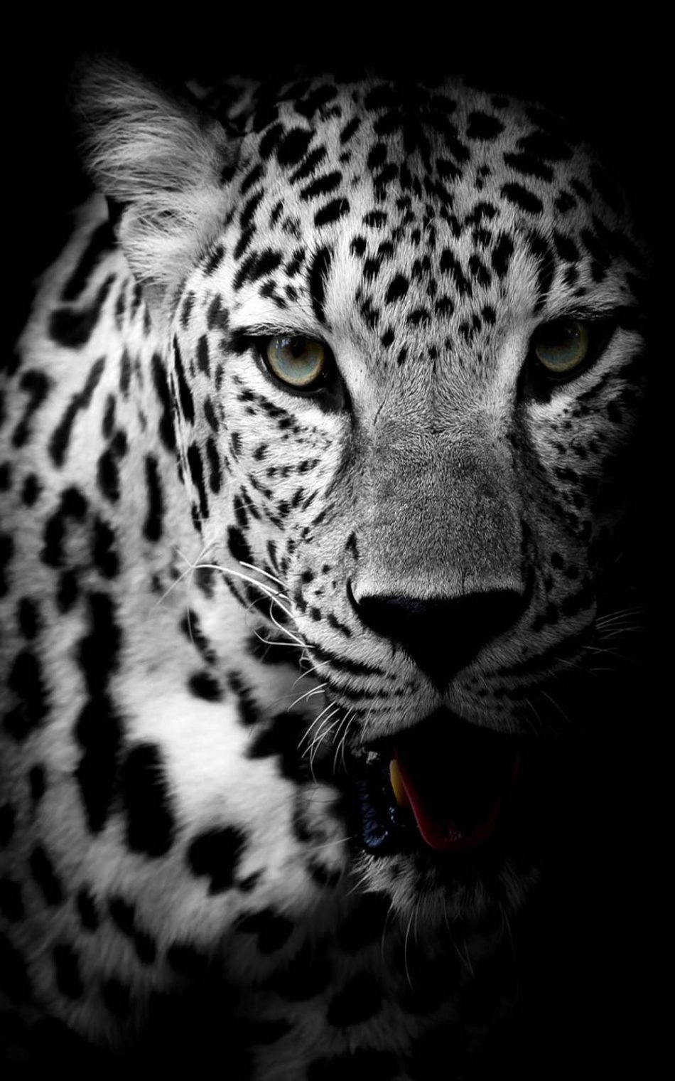 Leopard Black White Hd Mobile Wallpaper Leopard Wallpaper Wild Animal Wallpaper Animals Black And White